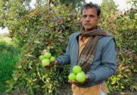 अमरूद-नींबू ने चमकाई किस्मत, इस किसान का सालाना मुनाफा है 5 लाख